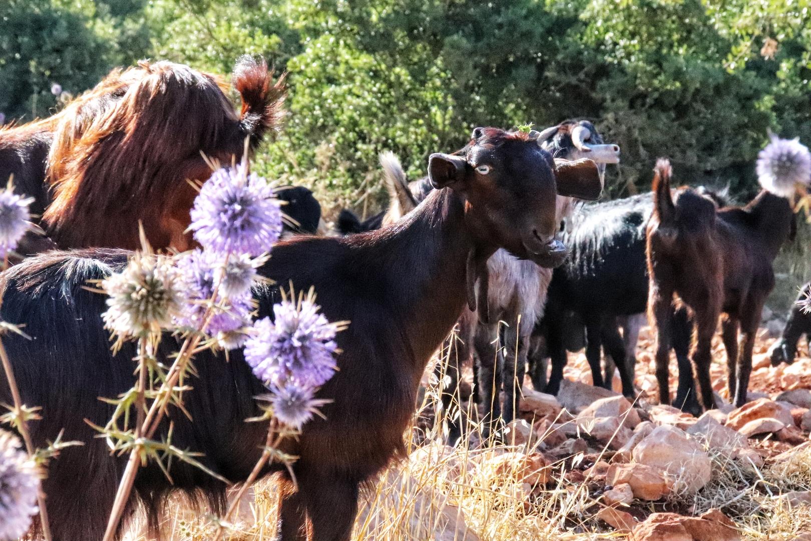 Jordanie - Chèvres dans la réserve d'Ajlun