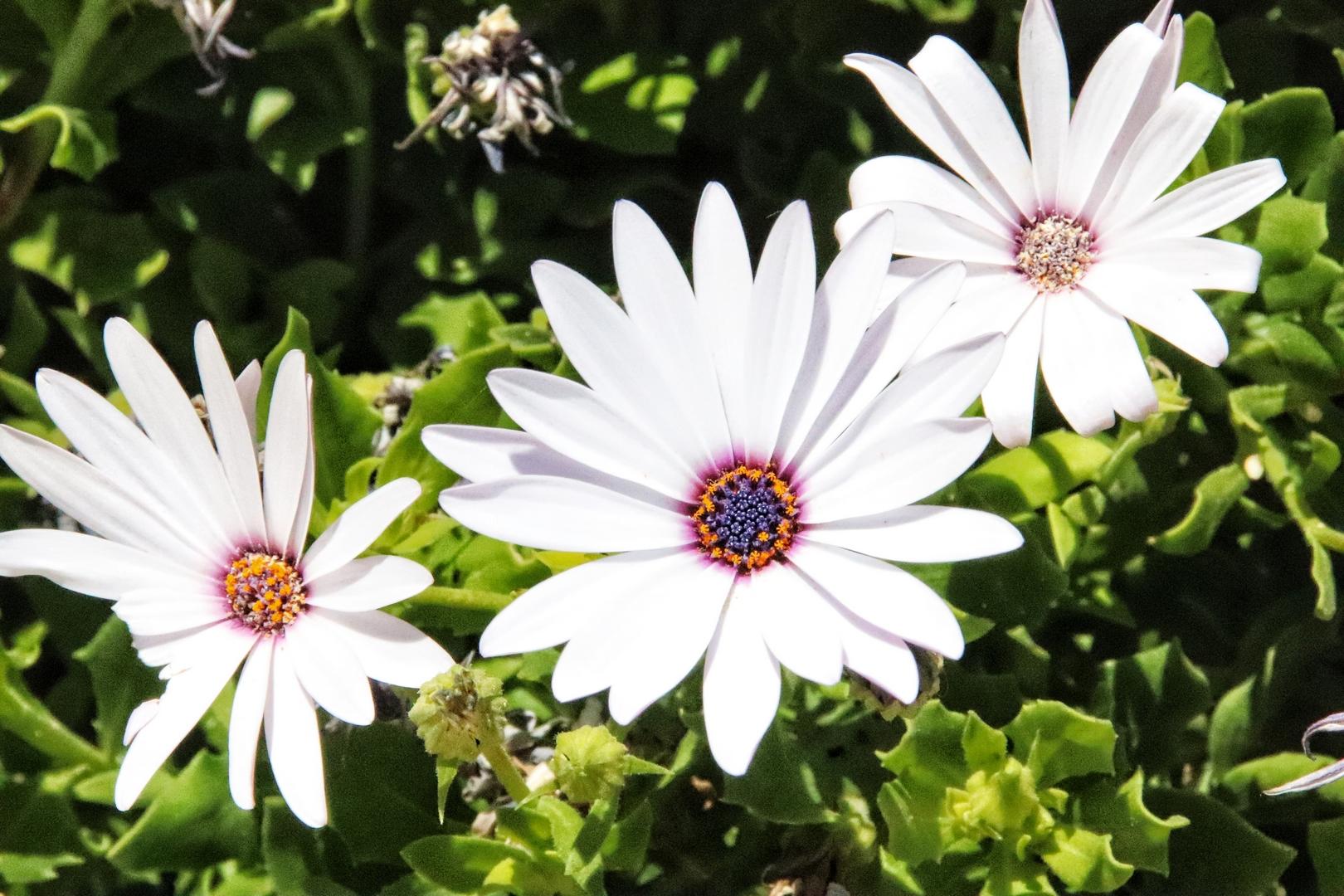 Jordanie - Fleurs blanches du Mont Nebo