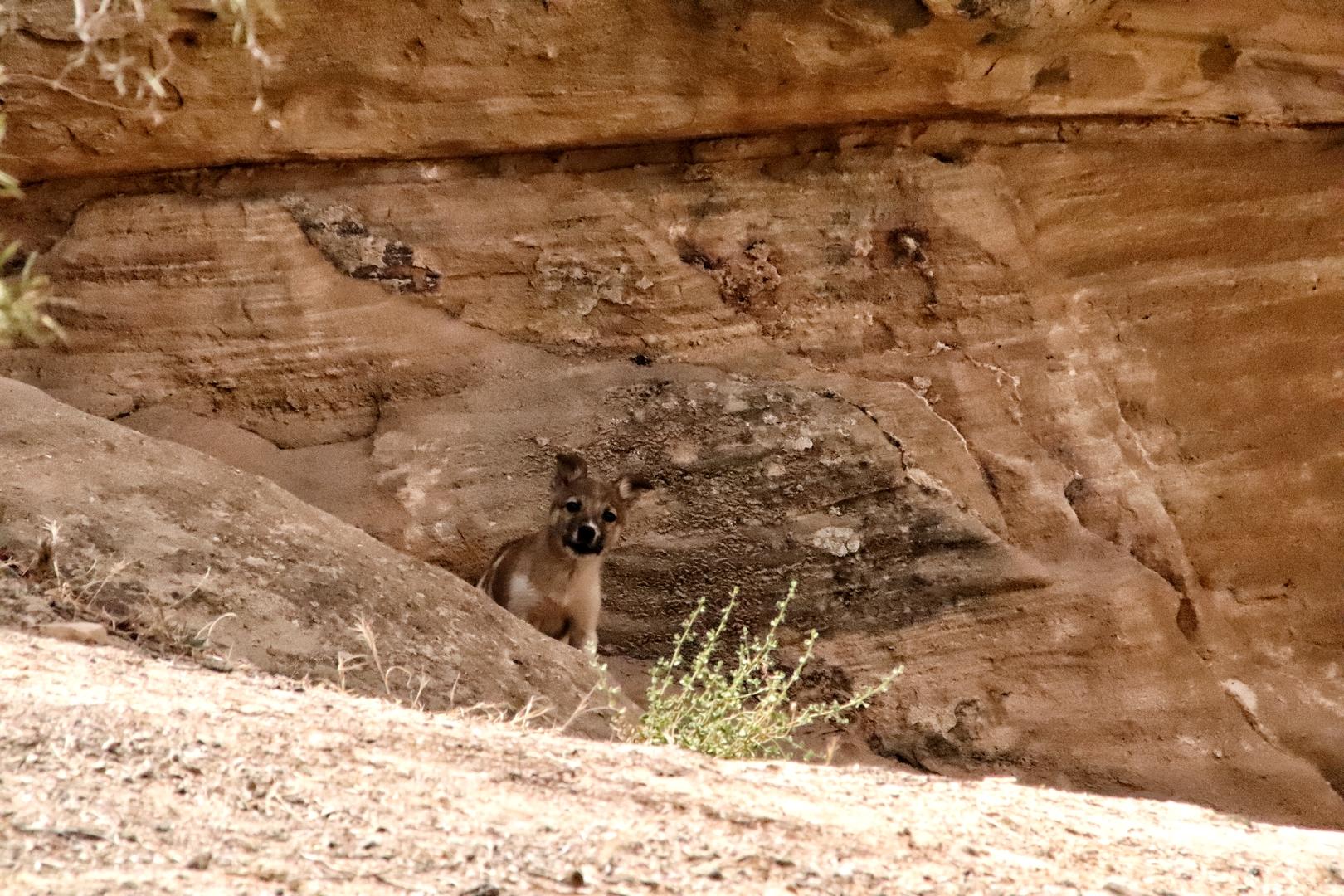 Jordanie - Rencontre avec des louveteaux dans la réserve de Dana
