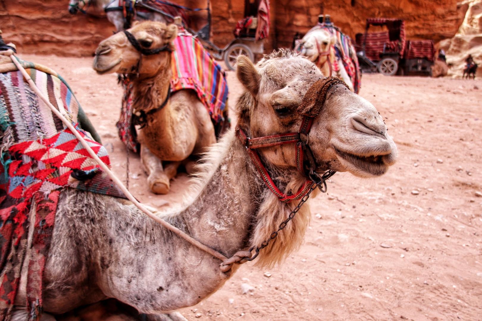 Jordanie - Les chameaux au pied du khazneh / trésor, monument principal du site de Petra