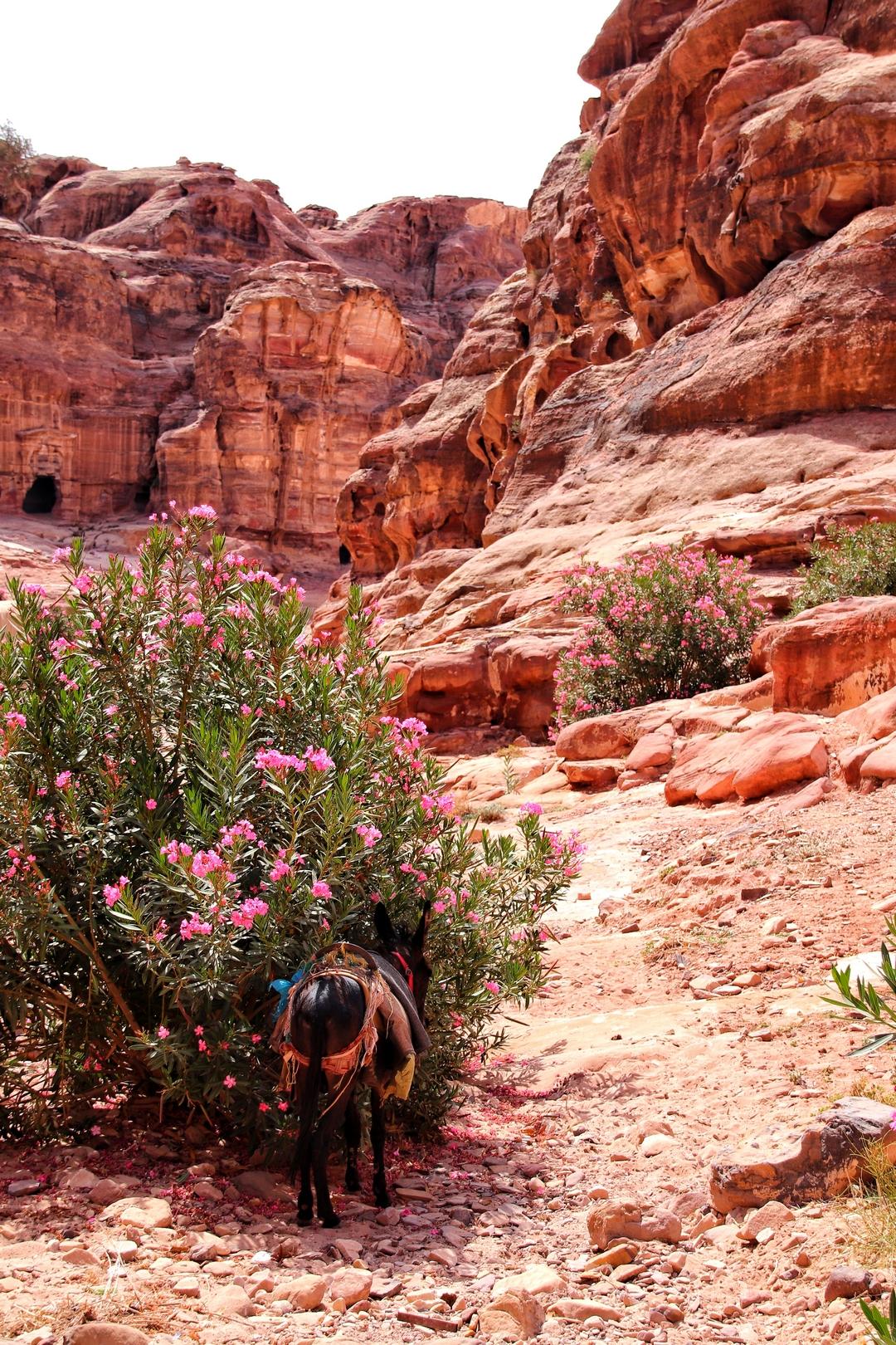 Jordanie - Ane et lauriers roses sur le site de Petra