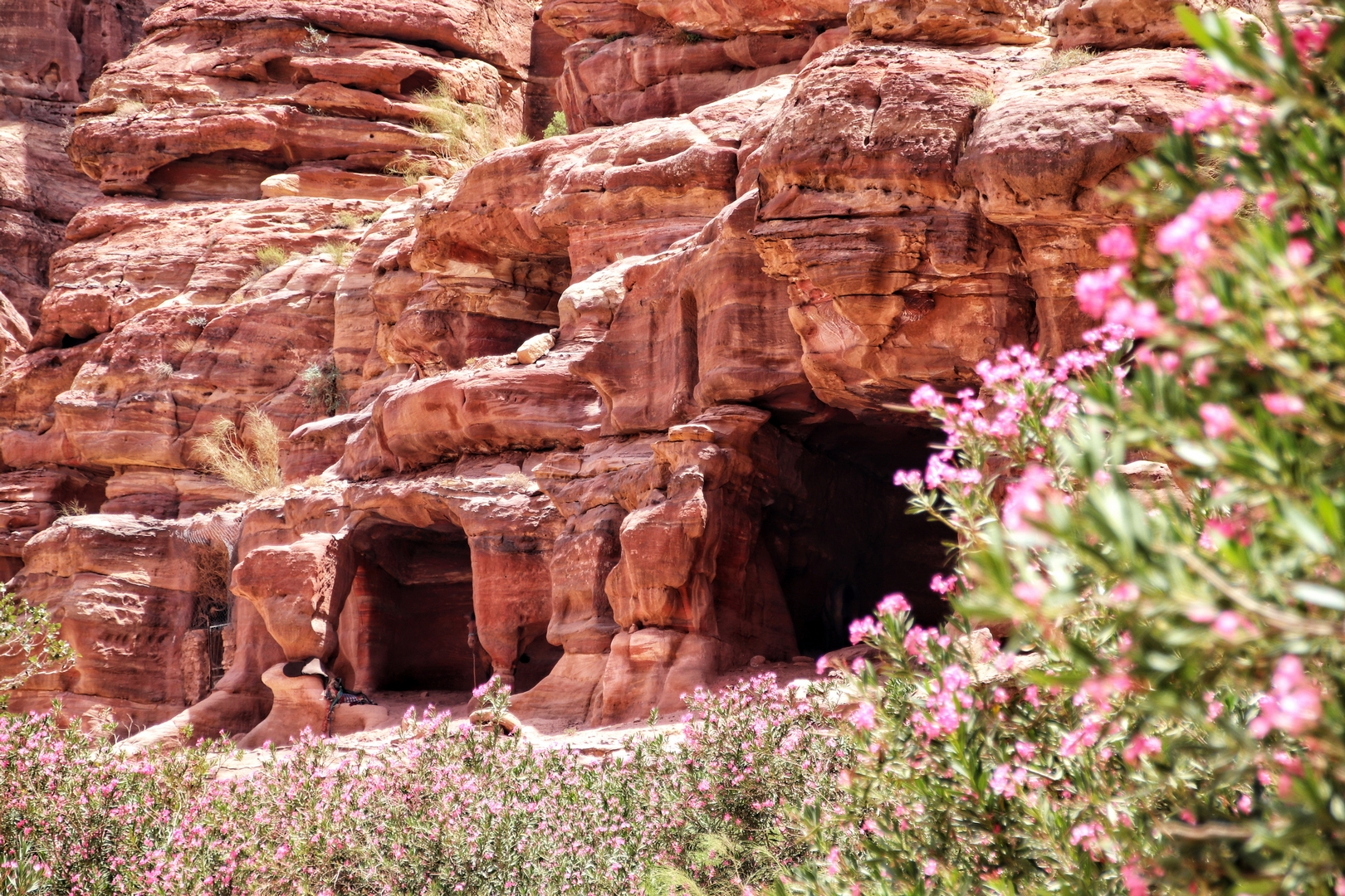 Jordanie - Lauriers roses sur le site de Petra