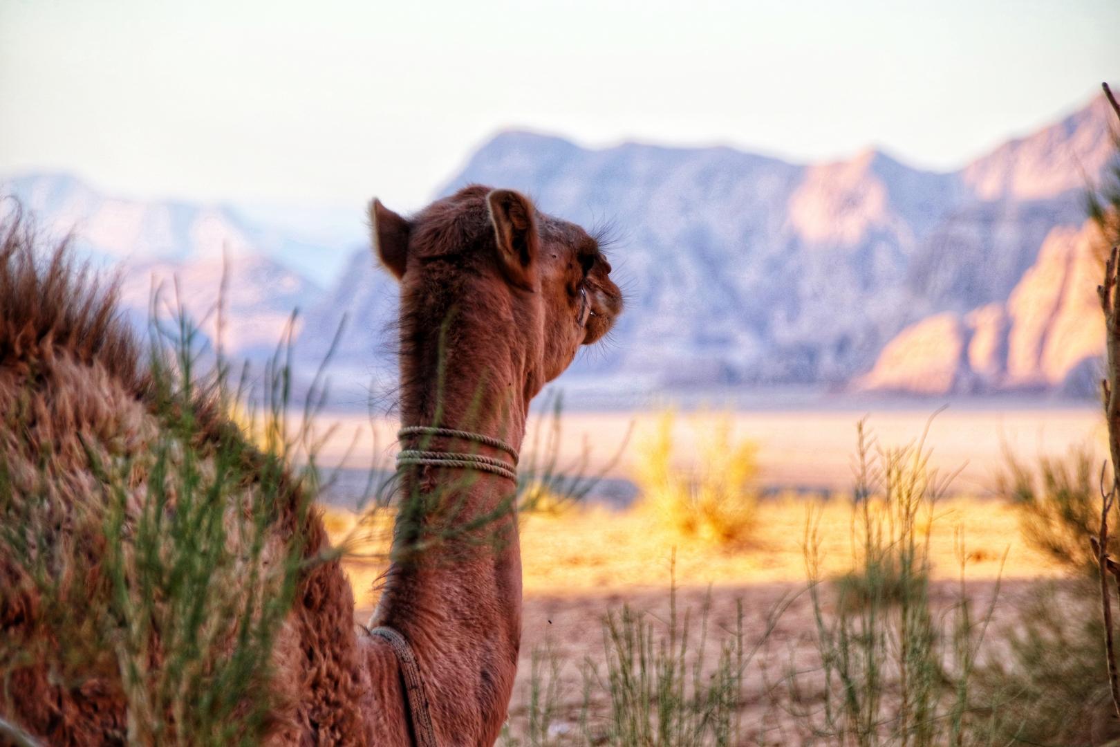Jordanie - Petit dromadaire dans un campement bédouin dans le désert de Wadi Rum