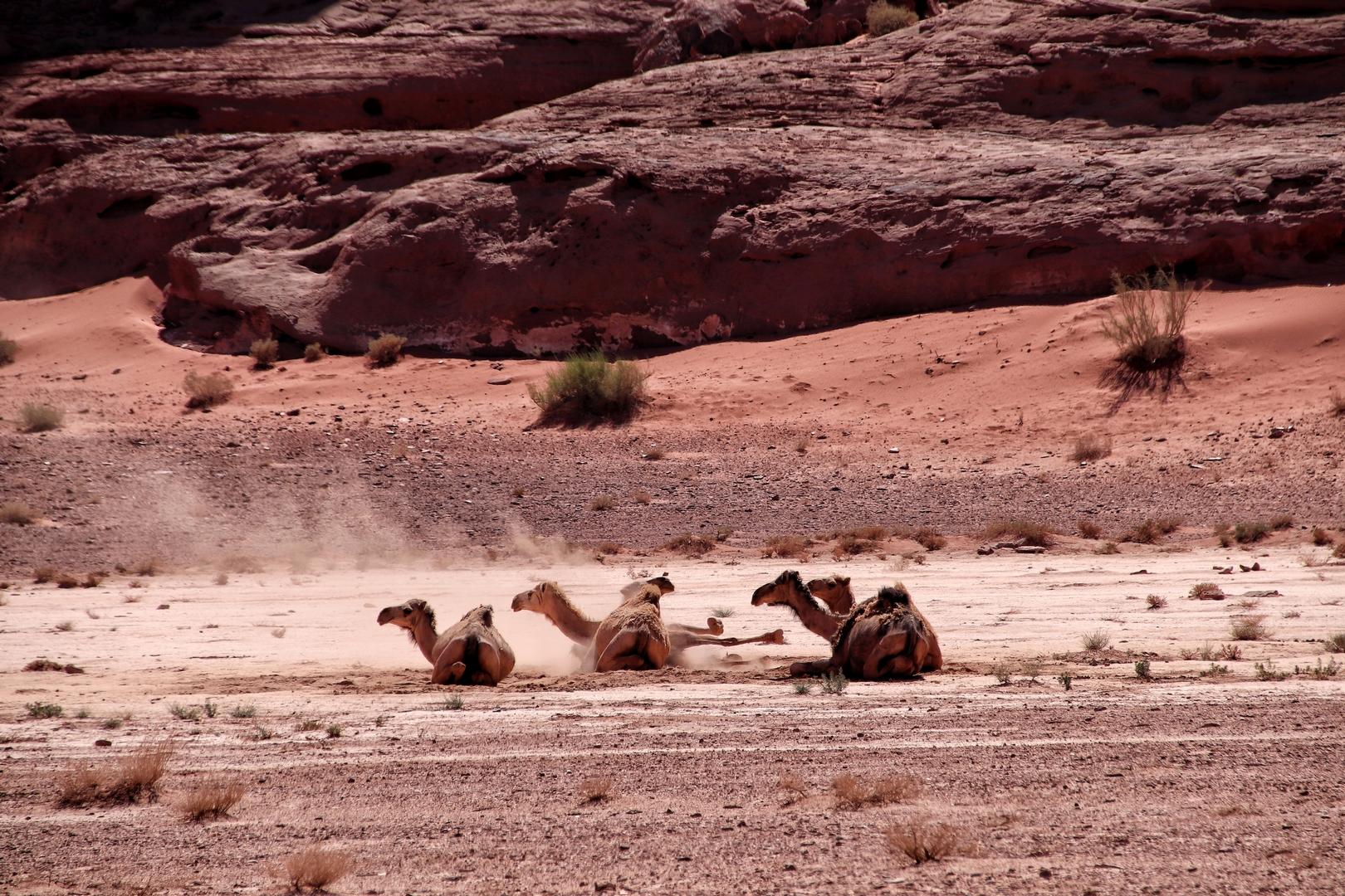 Jordanie - Dromadaires dans le désert de Wadi Rum