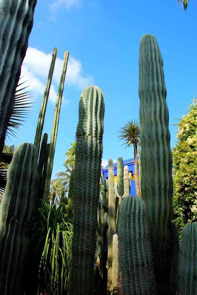 Maroc - Cactus dans le jardin Majorelle à Marrakech