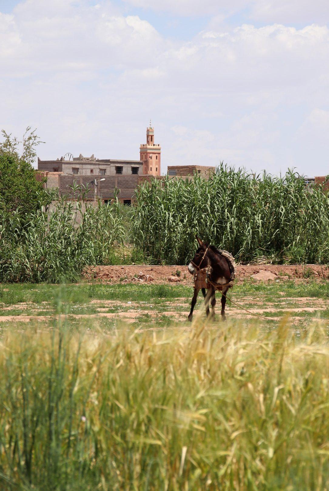 Maroc - Ane dans un champ, aperçu pendant notre balade en quad entre Ait Ben Haddou et Ouarzazate