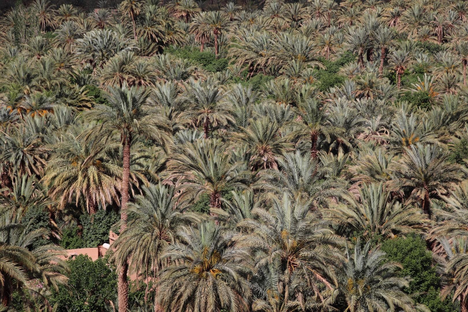 Maroc - Palmeraie d'Agdz