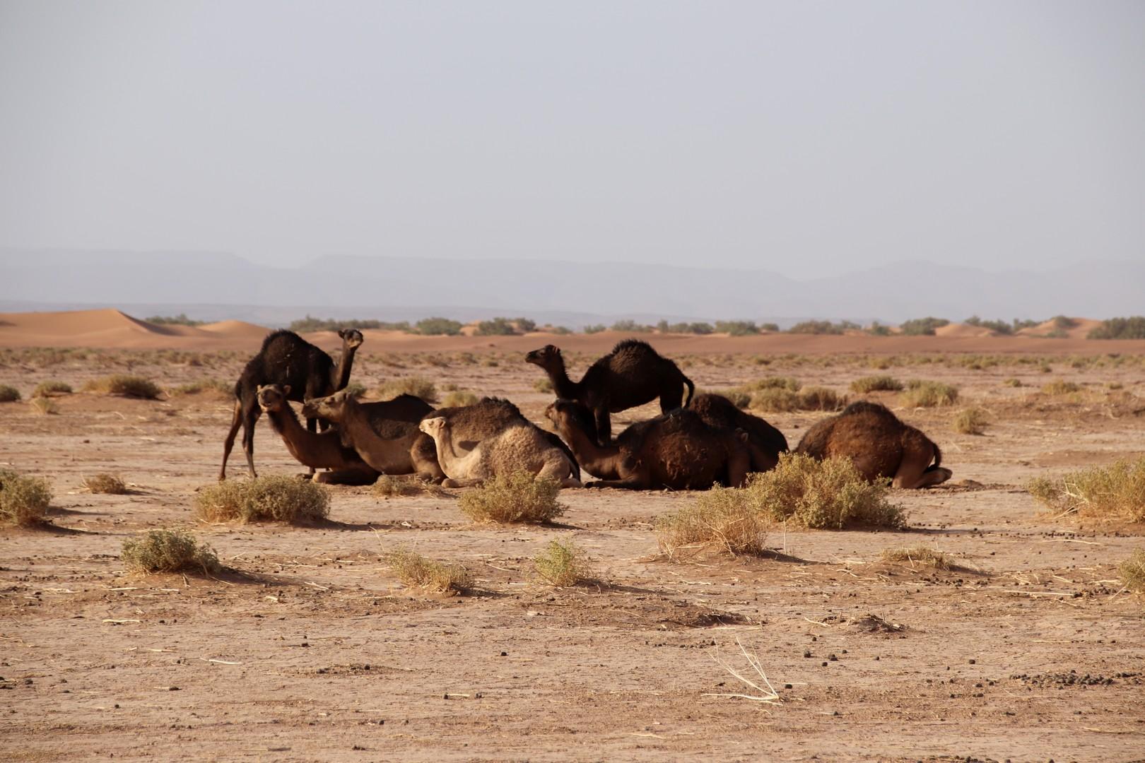 Maroc - Dromadaires sur la route des dunes de Chegaga
