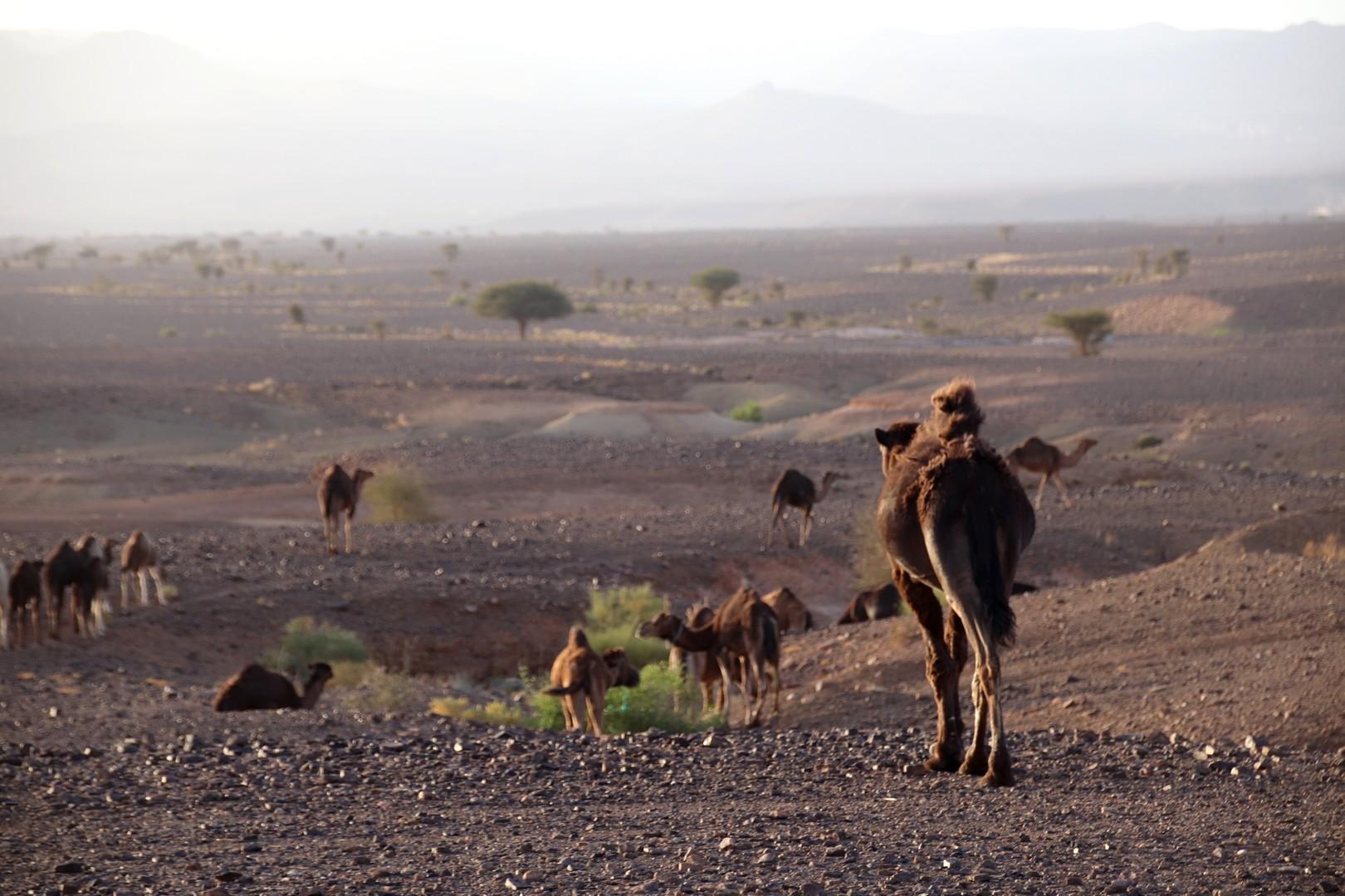 Maroc - Dromadaires dans le désert de Chegaga