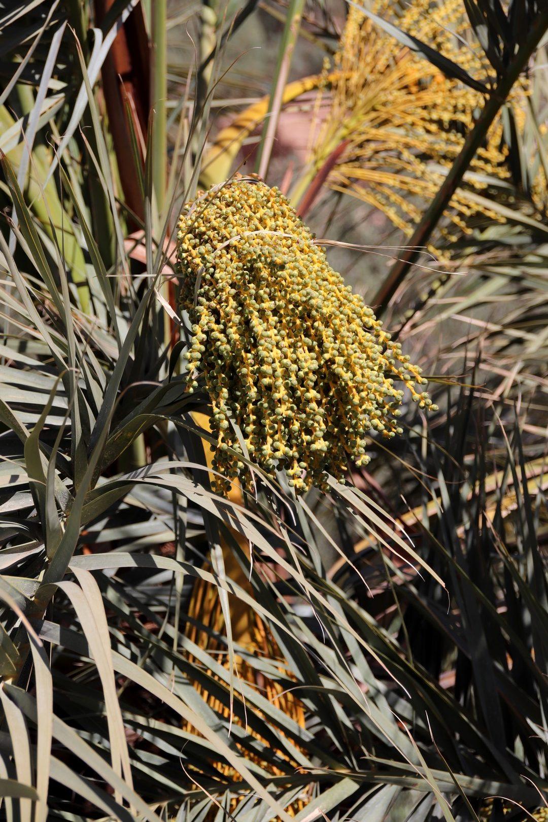 Maroc - Palmiers dattiers dans la palmeraie d'Erfoud
