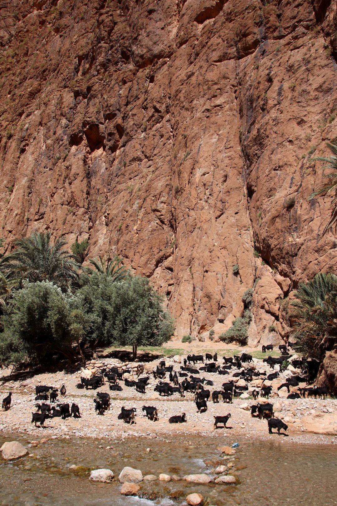 Maroc - Chèvres dans les gorges du Todra