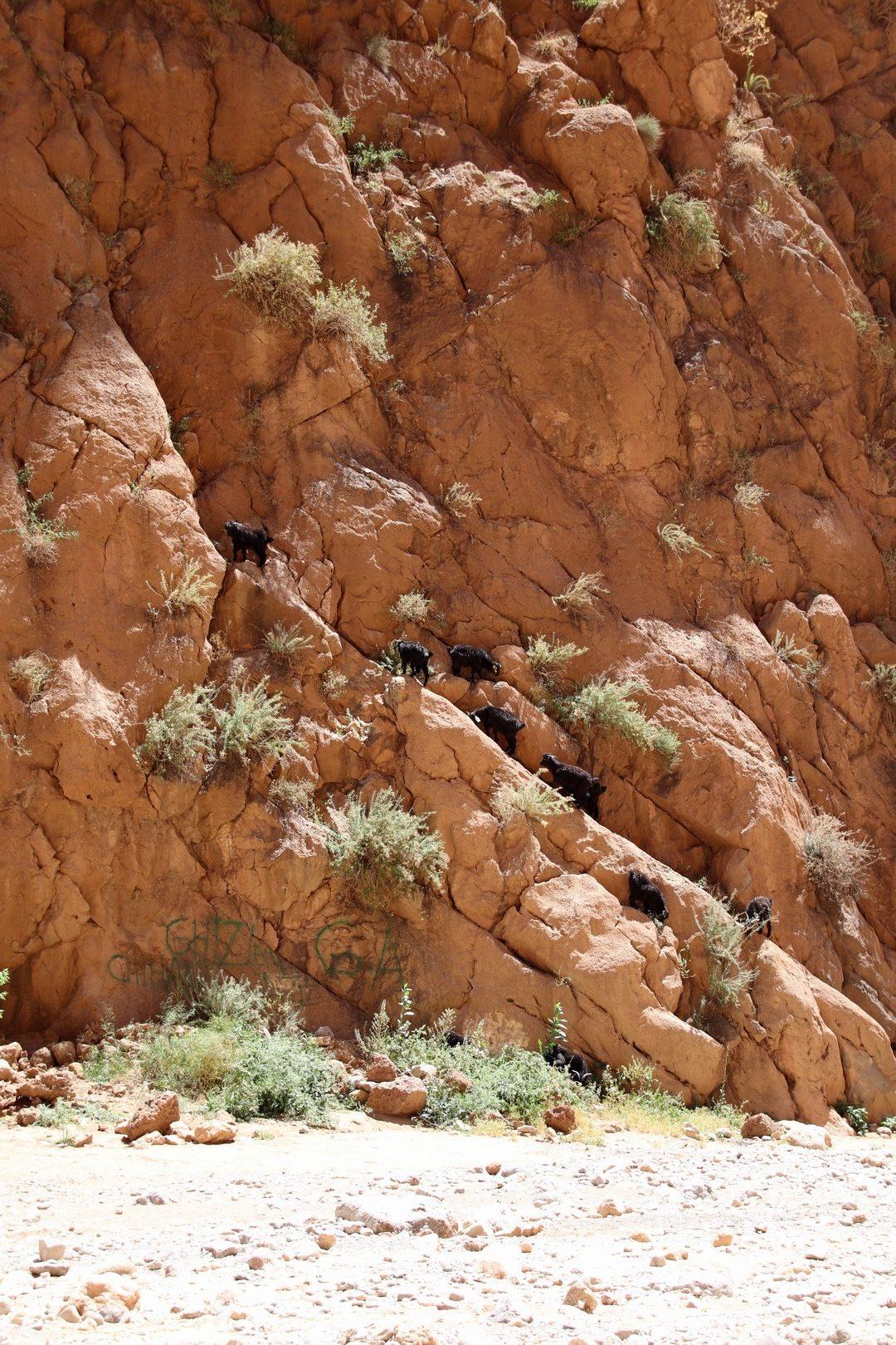 Maroc - Chèvres qui escaladent les falaises dans les gorges du Todra