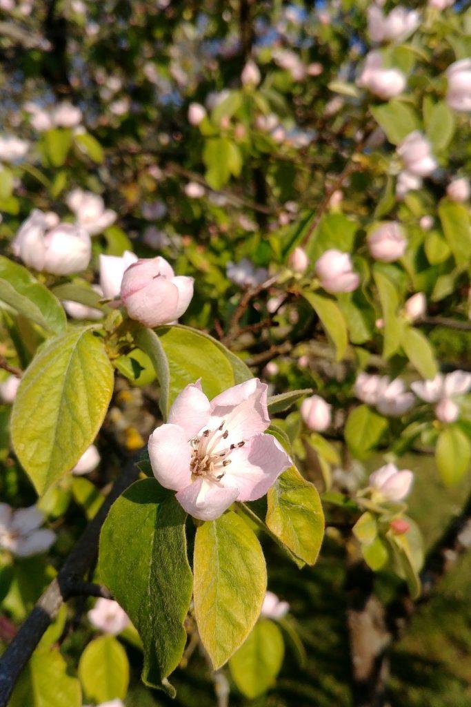Le cerisier en fleurs au printemps
