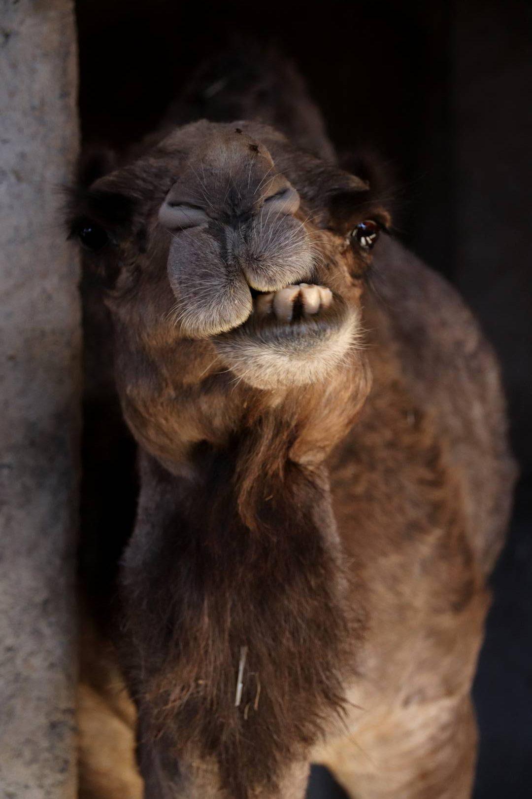 Maroc - Elevage de dromadaires dans la vallée d'Imlil