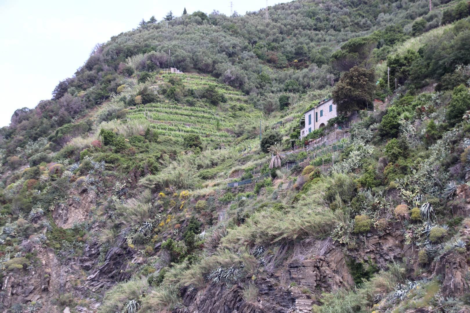 Italie - Cultures en terrasses dans le village de Vernazza, parc des cinque terre