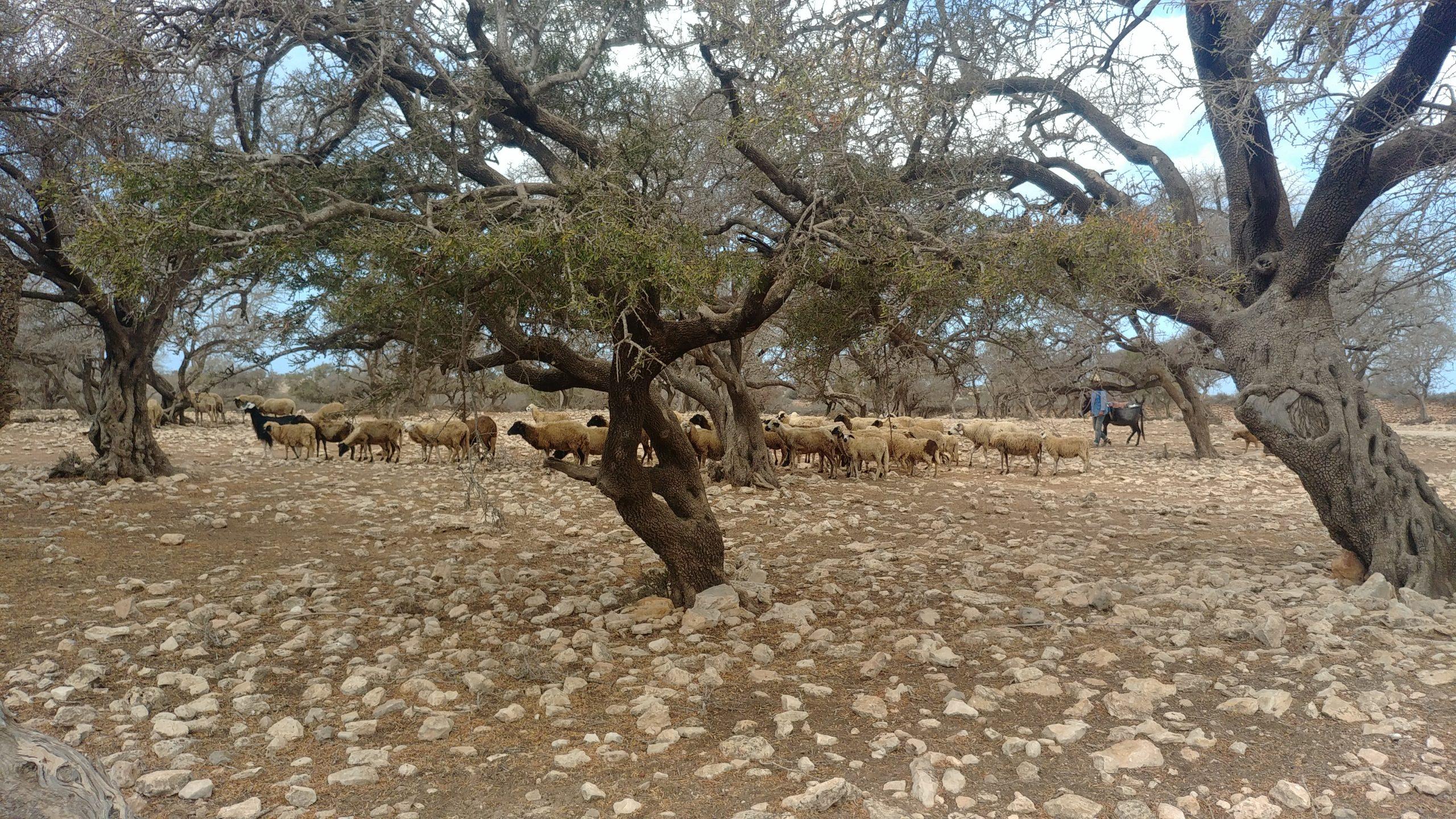Maroc - Randonnée à cheval à Essaouira et Sidi Kaouki, troupeau de moutons