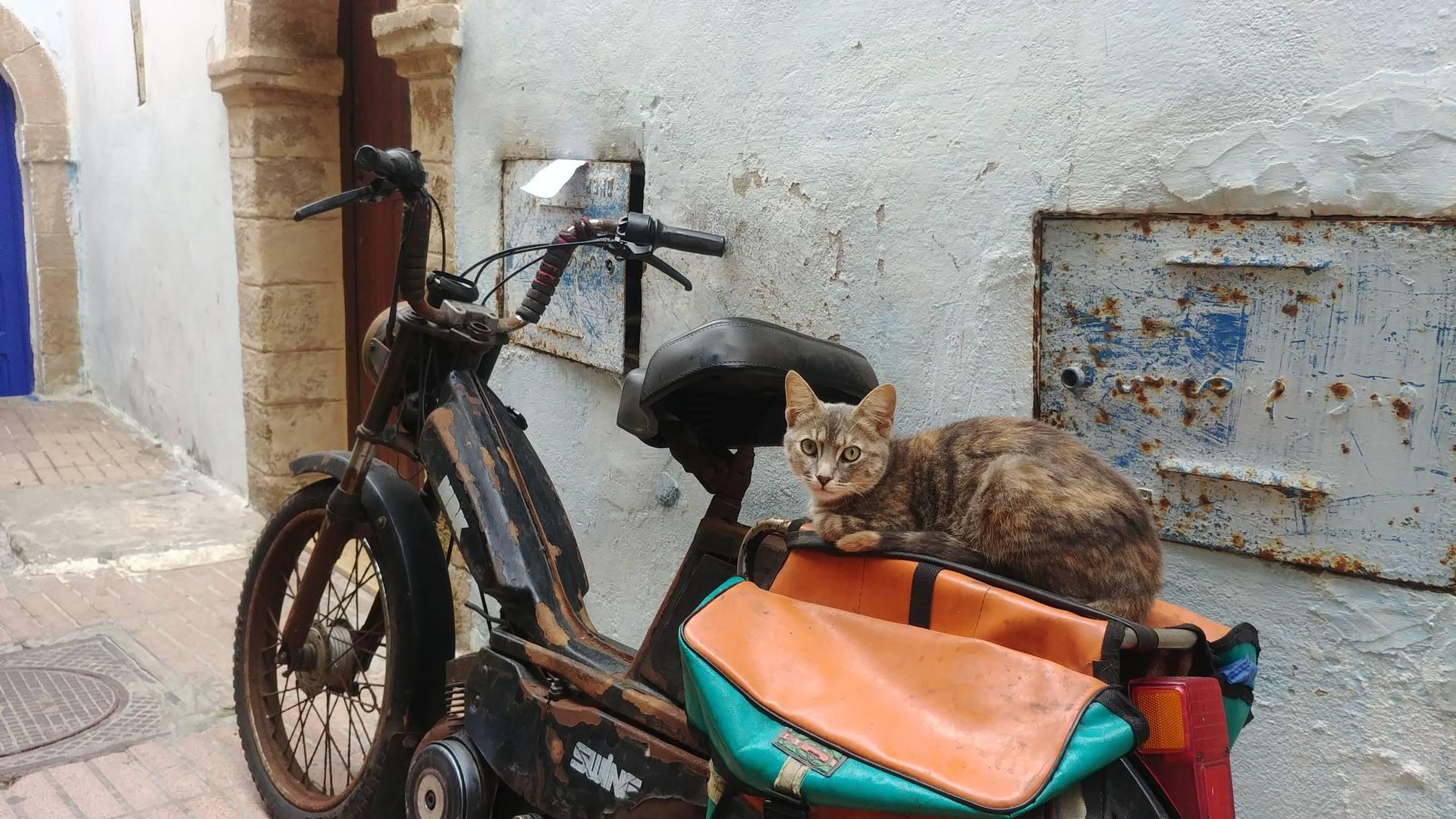 Maroc - Le chat sur la mobylette devant le riad à Essaouira