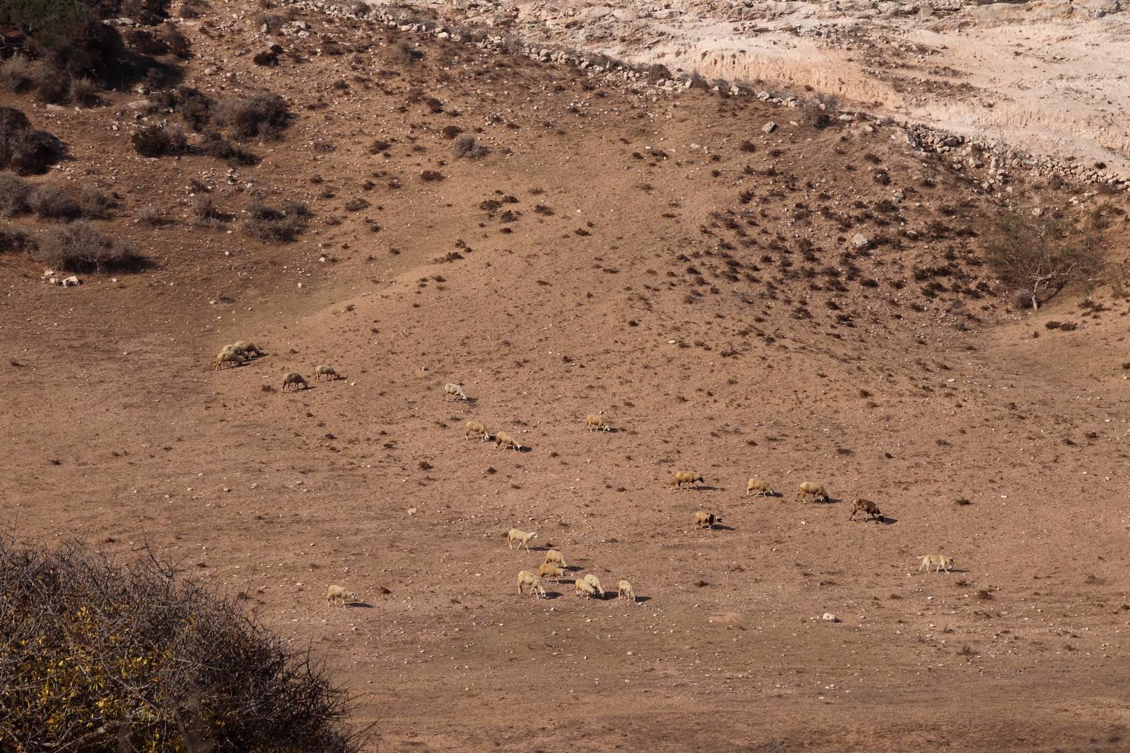 Maroc - Chèvres au Sud d'Essaouira