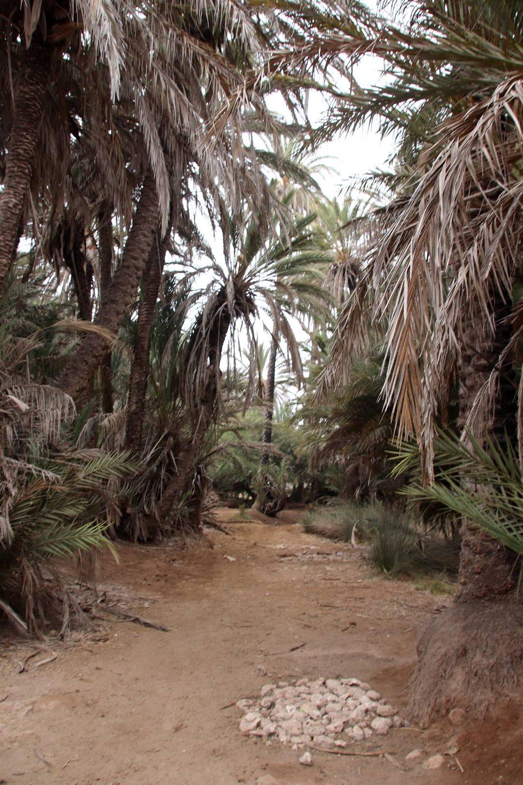 Maroc - Palmeraie de l'oasis Ain Lahdjar à côté d'Essaouira