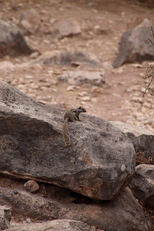 Maroc - Petit écureuil dans l'oasis Ain Lahdjar à côté d'Essaouira