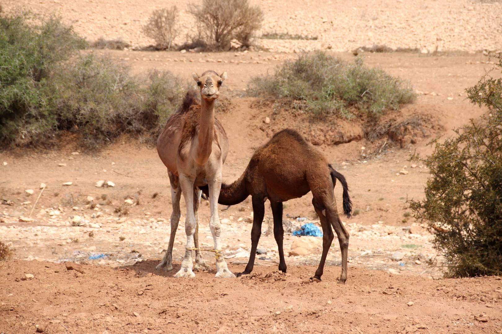 Maroc - Chamelle et son bébé à Essaouira